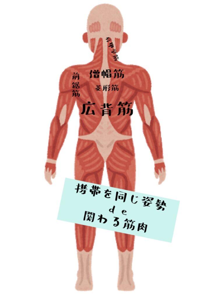 携帯やパソコンを同じ姿勢で見ていると関わる筋肉は肩甲挙筋・前鋸筋・僧帽筋・菱形筋・広背筋
