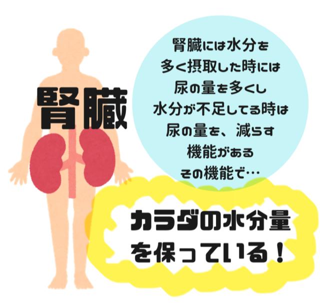 腎臓と水分の関わり